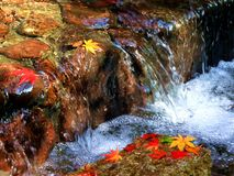 Осень, красивый красный клен Стоковое Изображение