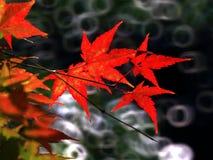 Осень, красивый красный клен Стоковые Изображения RF