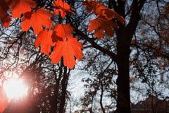 Осень красного цвета кленового листа Стоковые Изображения