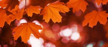 Осень красного цвета кленового листа Стоковое Изображение