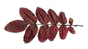 Осень Красные лист на белой предпосылке Стоковая Фотография RF