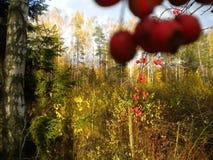 Осень, красные ягоды, время красивого золота, природы, конца-вверх стоковые фотографии rf