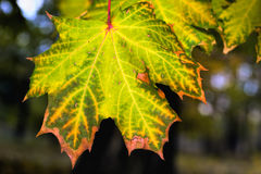 Осень клена Стоковое фото RF