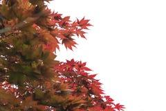 Осень кленового листа красная на белизне Стоковые Изображения