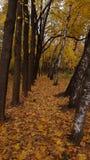 Осень Лес много желтая листва Стоковые Изображения