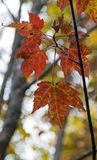 осень листает красный цвет стоковые изображения rf