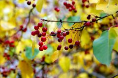 Осень, малые красные одичалые яблоки стоковые фото