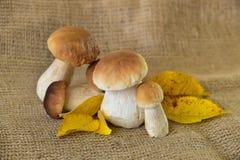 Осень натюрморта гриба подосиновика edulis Стоковая Фотография RF