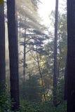 Осень октябрь Солнечное утро в тумане соснового леса и лучах света стоковые фото