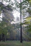 Осень октябрь Солнечное утро в тумане соснового леса и лучах света стоковое изображение rf
