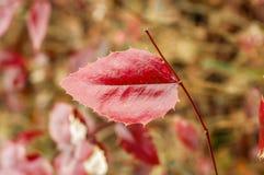 Осень, осенний орнамент, красные лист Стоковые Изображения RF