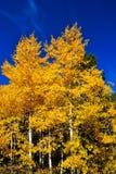 осень осин Стоковые Изображения RF