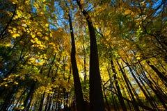 Осень падения красит листья желтого цвета дерева клена Стоковое Изображение RF