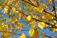 Осень пожелтела листья вишневого дерева птицы, предпосылки осени Стоковое Изображение RF