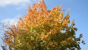 осень покрасила вал листьев видеоматериал