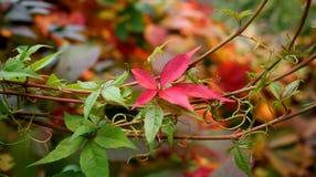 осень покрасила листья Стоковое Фото