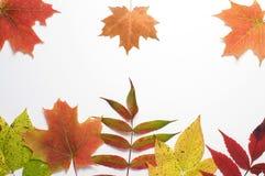 Осень покрасила листья на белой предпосылке Стоковые Фотографии RF