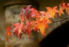 осень покрасила листья Стоковое Изображение RF