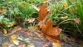 Осень, поток, желтые листья плыли вниз сток-видео