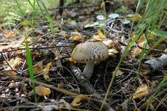 Осень подосиновика Стоковые Фото