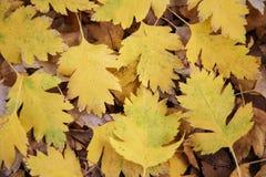 Осень, предпосылка, обои, желтые листья боярышника, высекаенный, упаденные от дерева, парк, прогулка, текстура стоковое фото