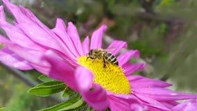 Осень Пчела меда на розовой астре Стоковое Изображение RF