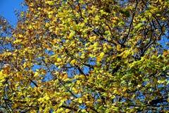 Осень разветвляет, сухие листья предпосылка желтого цвета, конец вверх Стоковые Изображения RF