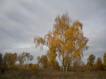 Осень солитарная береза стоковое фото rf