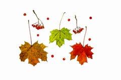 осень яблока миражирует листья состава сухие sacking ваза Картина сделанная из ягод и листьев осени Стоковые Изображения