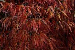 Осень acer Стоковая Фотография