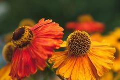Осень Helenium Стоковые Фотографии RF