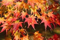 Осень Momiji Стоковые Изображения RF