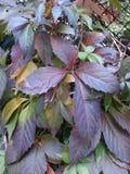 Осень tricuspidata Parthenocissus красотка естественная Стоковое Изображение