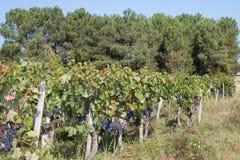 Осень Wineyard Виноградин-Бордо Стоковое фото RF