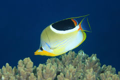 Оседланные Butterflyfish, ephippium Chaetodon Стоковое Фото