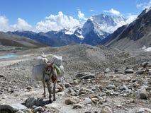 Осел в пропуске Ла Larke, пике Samdo - Непале Стоковое Изображение