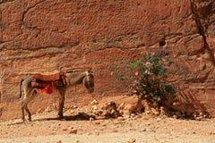 Осел в Petra Стоковые Изображения RF