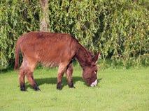 Осел есть траву Стоковые Фото