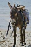 Осел на пляже Стоковое фото RF