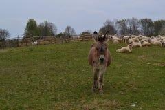 Осел на ферме овец Стоковая Фотография RF