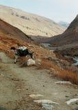 Осел пася в горах стоковая фотография rf