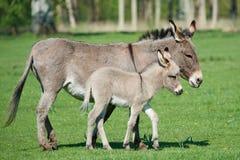 Осел (asinus africanus Equus) Стоковые Изображения
