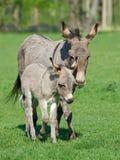Осел (asinus africanus Equus) Стоковое Фото