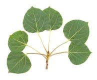 осина изолировала листья Стоковые Фотографии RF
