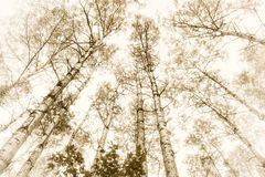 осины высокорослые Стоковая Фотография