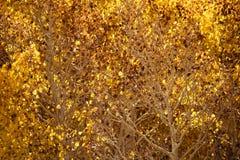 Осины в осени, национальный лес Inyo, Калифорния 13 Стоковое Фото