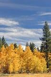 осины золотистые Стоковое Изображение RF