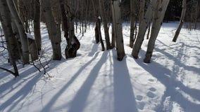Осины Snowy Стоковая Фотография RF