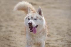 Осиплая собака породы Стоковая Фотография RF