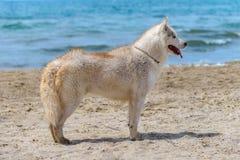 Осиплая собака породы Стоковое Изображение
